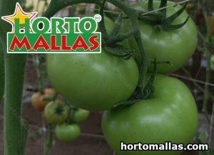 Tomate e tomate verde com espalier malha