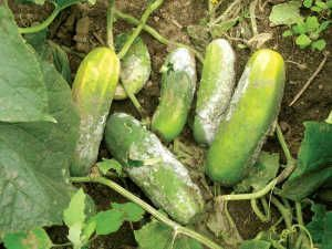 Typical micotic damage to cucumber due to excessive humidity and ground contact