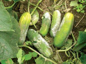 este es un típico ejemplo de un cultivo afectado por los fuertes cambios climáticos.
