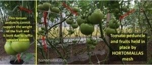 tomato plant support inside a greenhouse