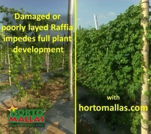 trellis net comparison against raffia twine on momordica charantia