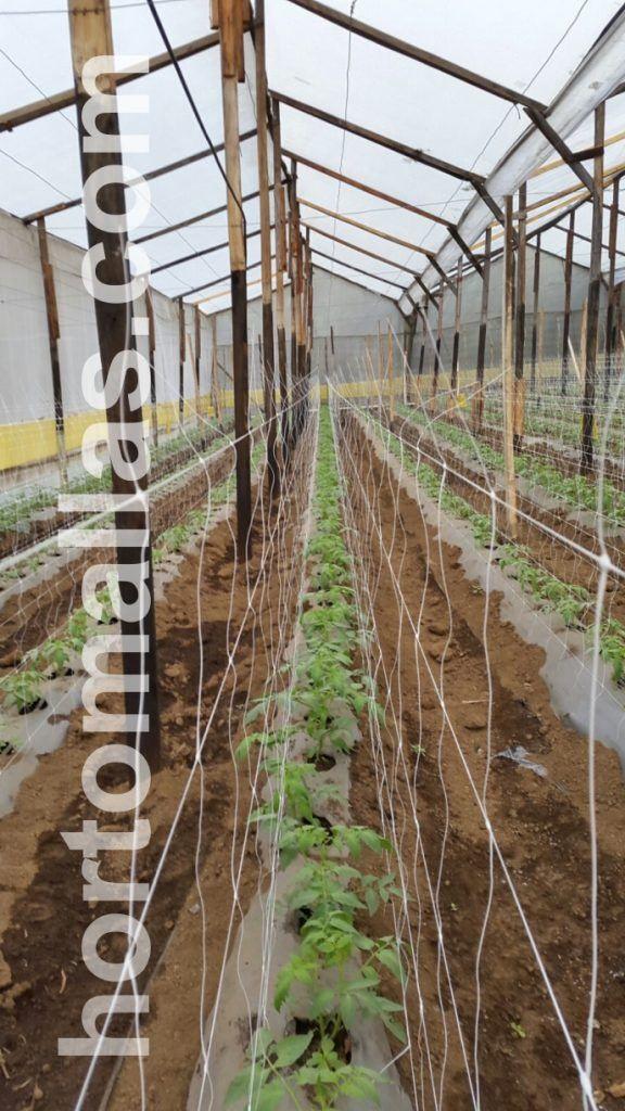 As plantas de tomate encontram um suporte/apoio melhor quando a tutoragem é realizada em fileira dupla com malha/rede treliça da HORTOMALLAS