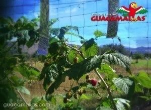 Berries protected with GUACAMALLAS® bird netting