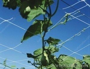 chayote squash plant with trellis net