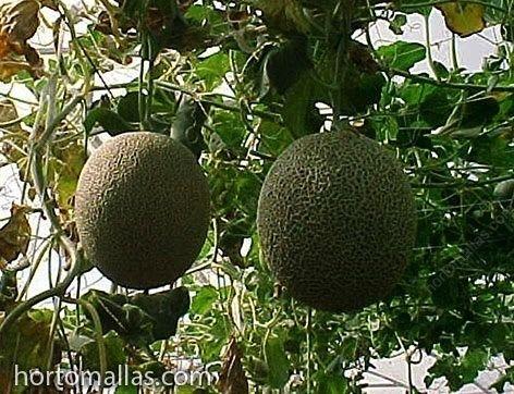 melon trellis
