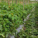 cultivo de tomate con malla espaldera