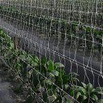 doble malla en cultivo de chile