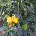 cultivo de chile con malla tutora