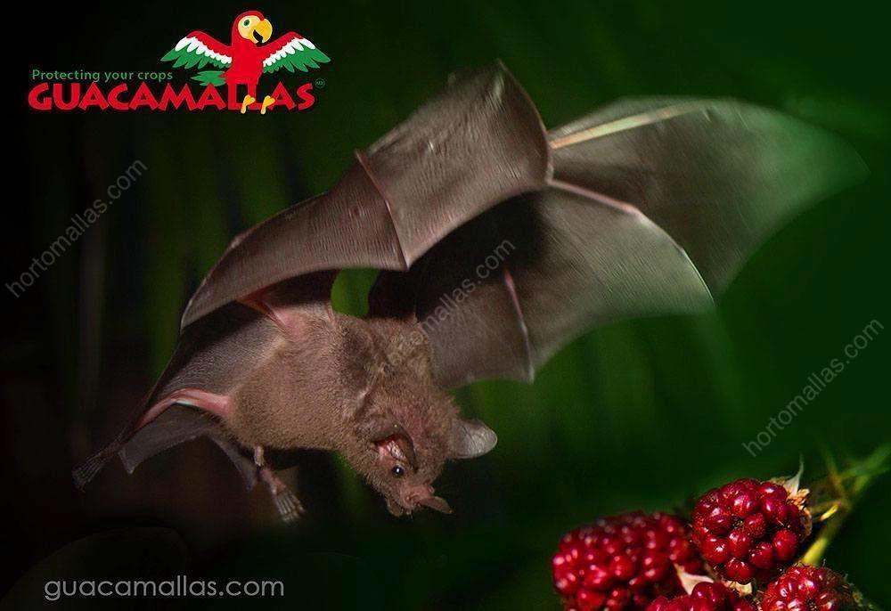 خفاش يلحق الضرر بحقل توت
