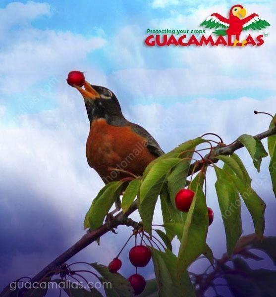 من المؤسف أنه لم يتم تركيب شبكة جوكامالاس لمكافحة الطيور!