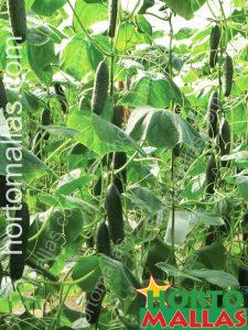cucumber net in the open field
