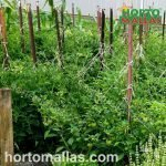tomato crop with trellis net tied to stakes
