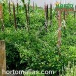 tomato crop with trellis net tied to stakes