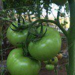 cultivo de tomate, cultivo de jitomate
