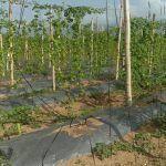 cultivo de ejote con malla espaldera