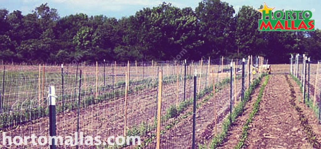 trellis net in conjunction with wooden stakes tutoring a field of tomato crop