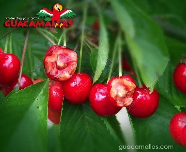 كان يجب استعمال شبكة جوكامالاس لمكافحة الطيور لتحمي حبات الكرز هذه