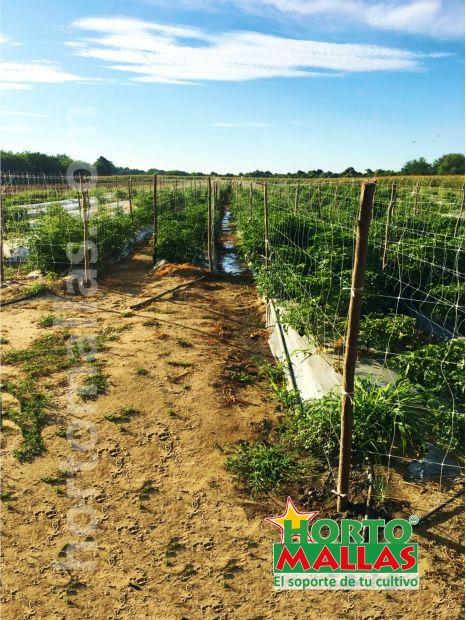 Cultivo de chile habanero con malla espaldera HORTOMALLAS en campo abierto con acolchado