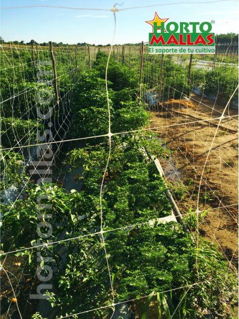 Cultivo de chile habanero con soporte de malla espaldera HORTOMALLAS y acolchado en campo abierto