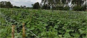 melon plants using crop support net