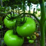 peduncle of tomato supported by tomato trellis netting