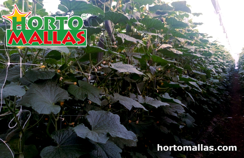Tutoreo de hortalizas incrementa la densidad de siembra de hortalizas