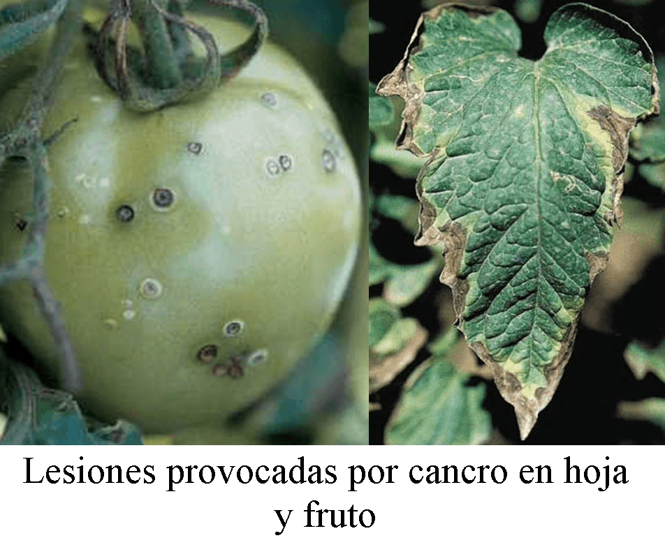 Bacterial diseases that infect the tomato and their symptoms