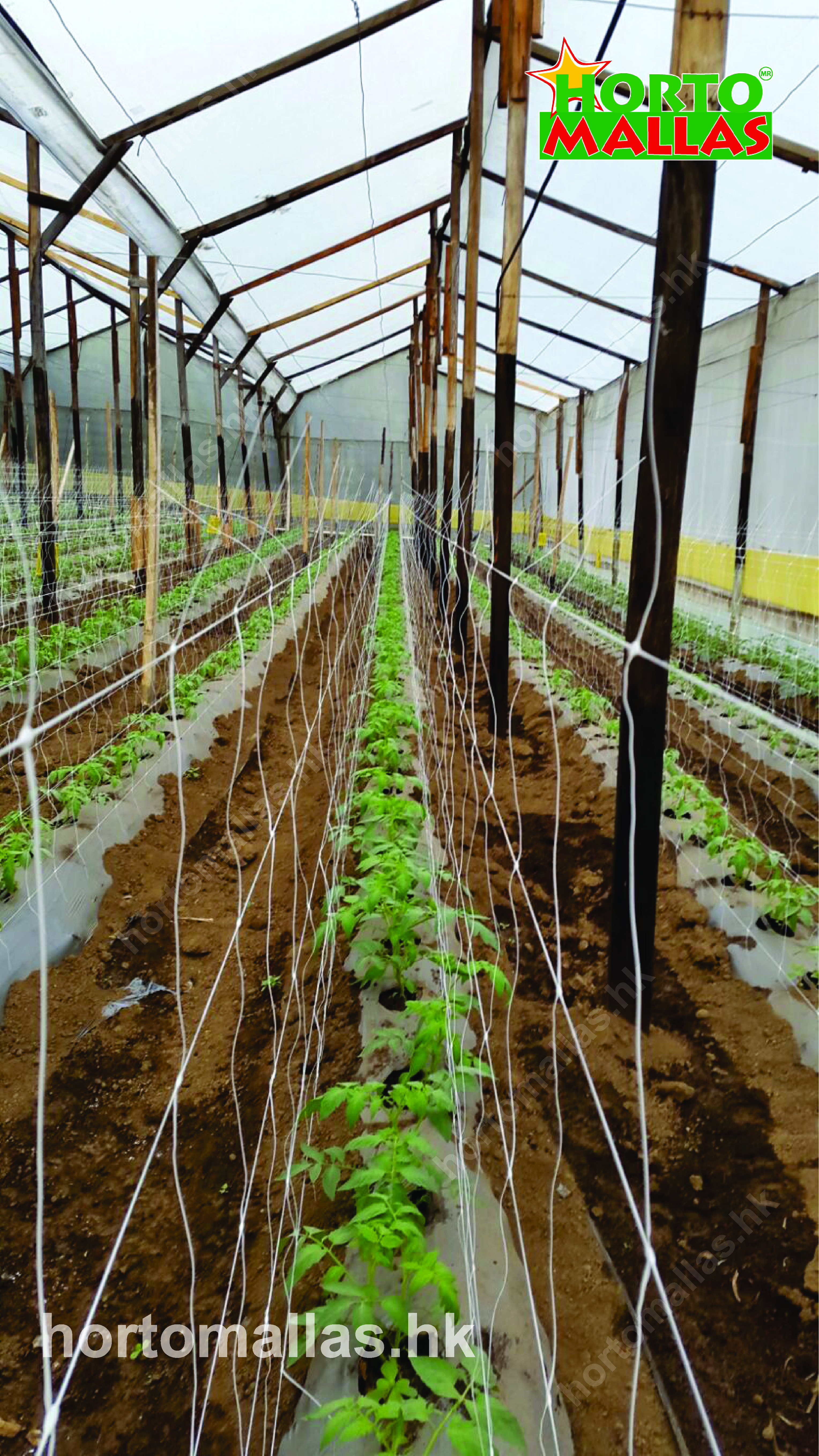 Greenhouse Tomato Trellis with HORTOMALLAS™, your plant support®