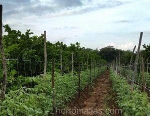 HORTOMALLAS detalle de instalacion en tomate campo abierto