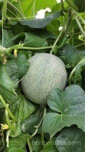 soporte melones