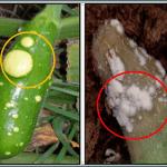calabaza fusarium