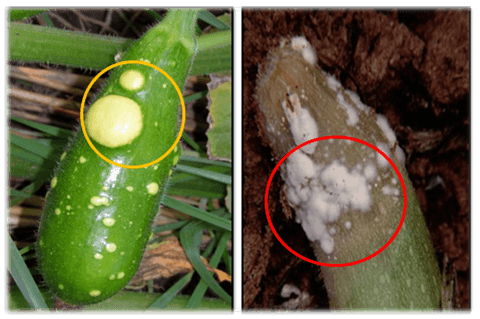 Support netting is a tool to prevent diseases and plagues in zucchini