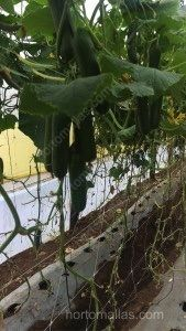 Cucumber rafia