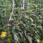 semillas de pimiento