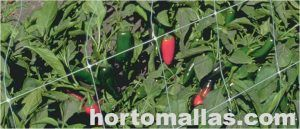 Semillas de chile con HORTOMALLAS