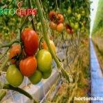 Virosis en tomate