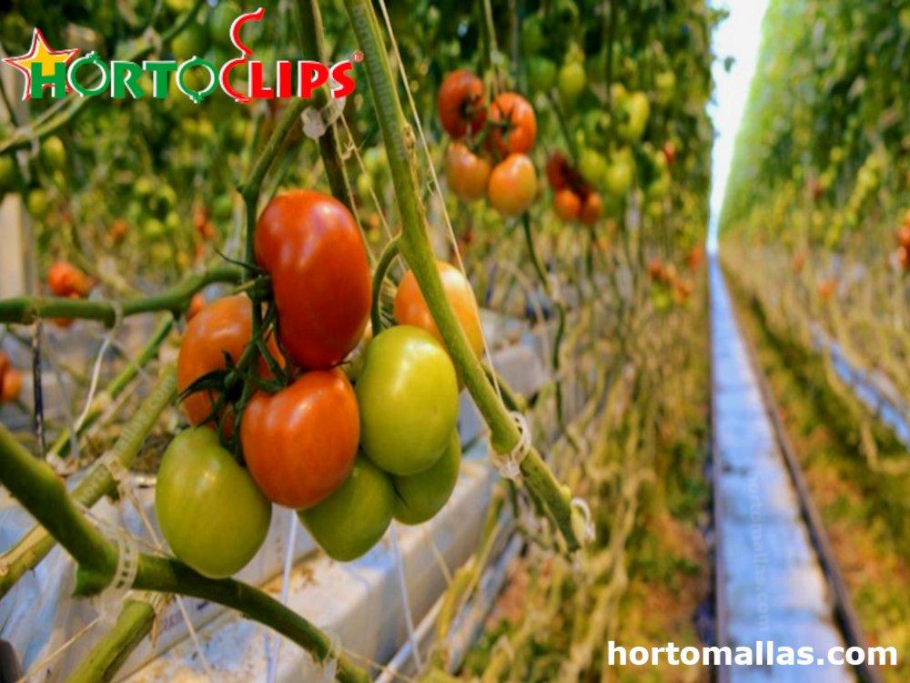 Virosis en tomate y como mejorar su cultivo.