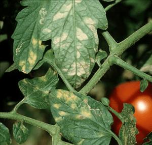 oidio tomate