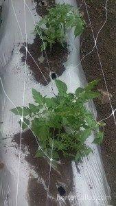 tutoraggio con HORTOMALLAS per guidare la pianta del pomodoro