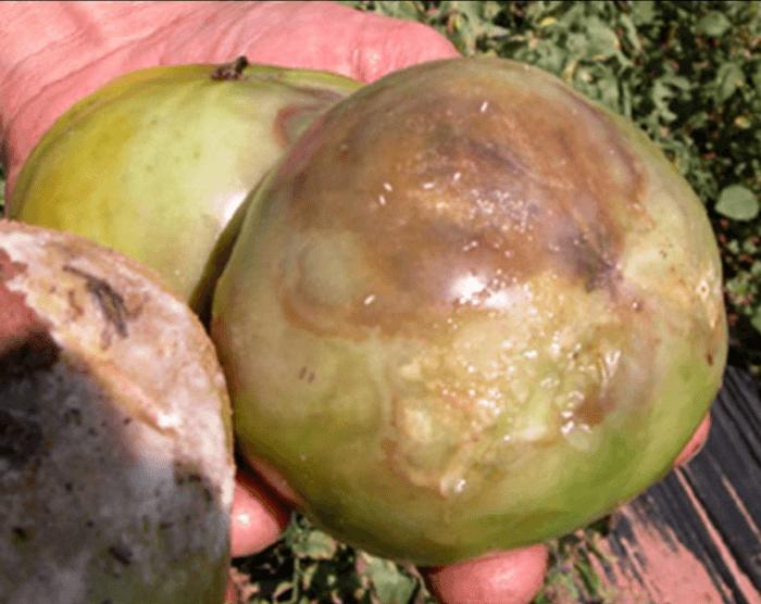 Enfermedades fúngicas del tomate: hongos patógenos