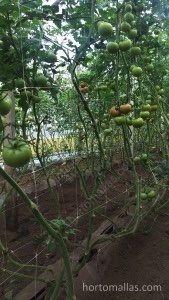 entutorar tomates en invernadero