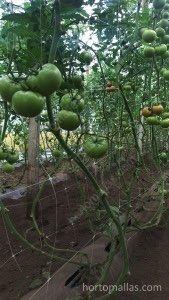 tomate indeterminado con HORTOMALLAS