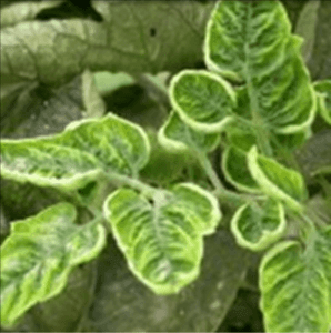Tomato spoon leaf disease