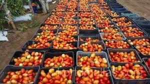 tomato trellis netting