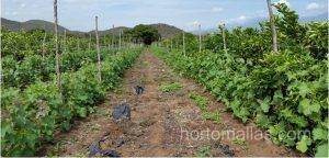 Cultivo de melón con HORTOMALLAS