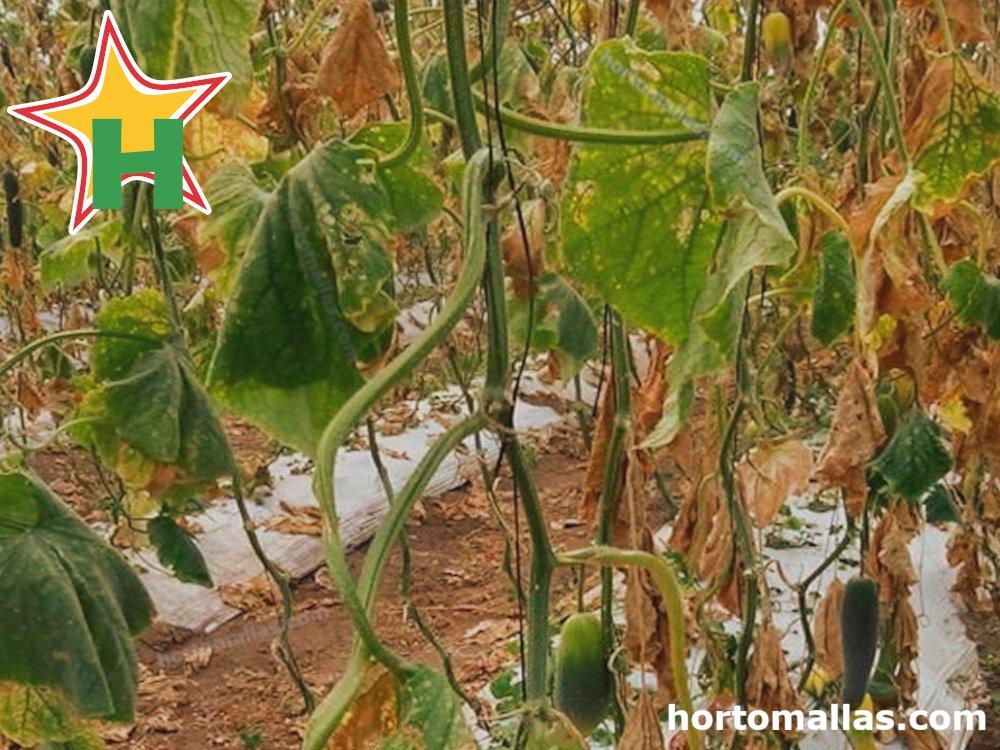 Enfermedades por hongos fitopatógenos en el cultivo de pepino.