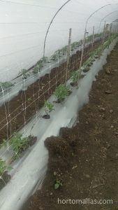 cultivo de tomate y estrés mecánico.