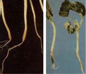 hongos pepino