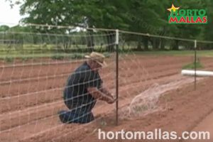 person installing tomato trellis netting