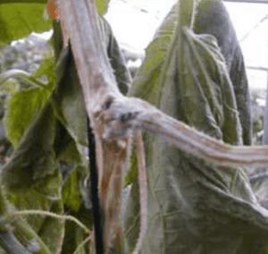 podredumbre pepino